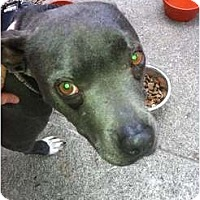 Adopt A Pet :: Sheba - FOSTER NEEDED! - Los Angeles, CA