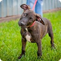 Adopt A Pet :: Thumper - Houston, TX
