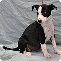 Adopt A Pet :: Terri IN CT - East Hartford, CT