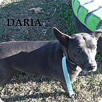 Adopt A Pet :: Daria - Batesville, AR