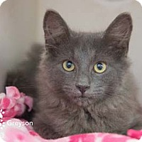 Adopt A Pet :: Greyson - Merrifield, VA