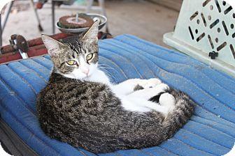 American Shorthair Kitten for adoption in Morriston, Florida - white tabby