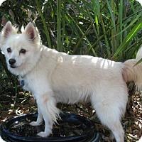 Adopt A Pet :: Sadee of Deltona, FL - Bradenton, FL