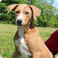 Adopt A Pet :: Percy - Glastonbury, CT