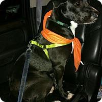 Adopt A Pet :: Ditka - Barnegat, NJ