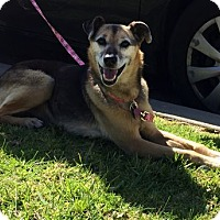 German Shepherd Dog Dog for adoption in Irvine, California - Savannah II
