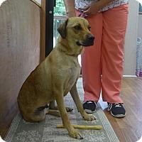 Dachshund/Labrador Retriever Mix Dog for adoption in Manning, South Carolina - Chaz