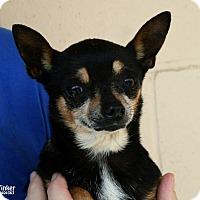 Adopt A Pet :: Tinker - Santa Maria, CA