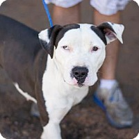 Pit Bull Terrier Mix Dog for adoption in Fresno CA, California - Trubee