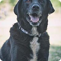 Labrador Retriever Dog for adoption in Dickinson, Texas - Dice