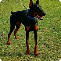 Doberman Pinscher Dog for adoption in Lafayette, Indiana - Cash