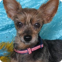 Adopt A Pet :: Sophie Yorkie - Cuba, NY