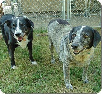 Shepherd (Unknown Type) Mix Dog for adoption in Ocean Ridge, Florida - Rebel
