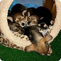 Adopt A Pet :: Lilikoi's puppies - Rancho Santa Fe, CA