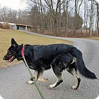Adopt A Pet :: TASHA - New Ringgold, PA