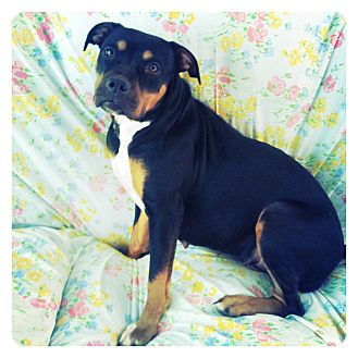 Rottweiler/Boxer Mix Dog for adoption in Louisville, Kentucky - Rubi