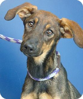Doberman Pinscher/German Shepherd Dog Mix Puppy for adoption in Red Bluff, California - Lucy Lulu