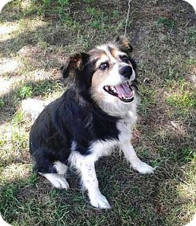 Australian Shepherd/Border Collie Mix Dog for adoption in Elk River, Minnesota - Misty