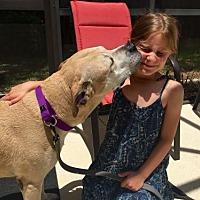 Labrador Retriever/Pit Bull Terrier Mix Dog for adoption in Sarasota, Florida - Zigg - Courtesy Listing