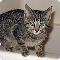 Domestic Shorthair Kitten for adoption in Queensbury, New York - Felicity