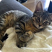 Adopt A Pet :: Lyla - Toronto, ON