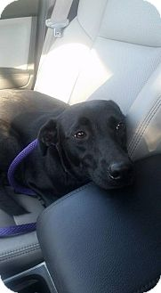 Labrador Retriever Mix Dog for adoption in Palatine/Kildeer/Buffalo Grove, Illinois - Daisy