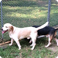 Beagle Mix Dog for adoption in Dumfries, Virginia - Holmes