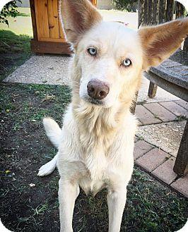 Husky Mix Dog for adoption in Fredericksburg, Texas - Aubrey