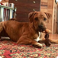 Adopt A Pet :: Champ has a wrinkled face which is adorable! - Rowayton, CT