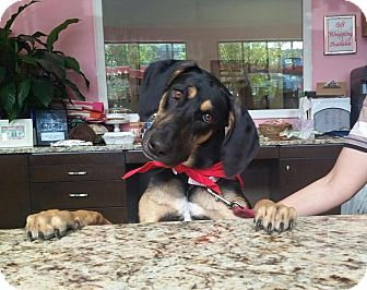Black and Tan Coonhound Dog for adoption in Raleigh, North Carolina - Sasha (courtesy listing)