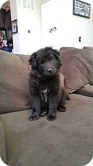 Australian Shepherd/Border Collie Mix Puppy for adoption in Denver, Colorado - Tasha