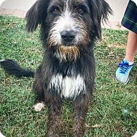 Irish Wolfhound/Bearded Collie Mix Dog for adoption in Fredericksburg, Texas - Cody