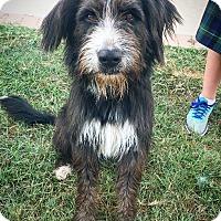 Adopt A Pet :: Cody - Fredericksburg, TX