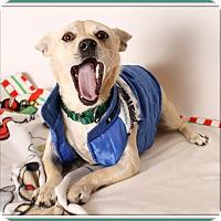 Adopt A Pet :: Brulee - Glendale, AZ