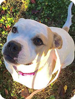 American Bulldog Mix Dog for adoption in Corning, California - NO FEE - Sheera