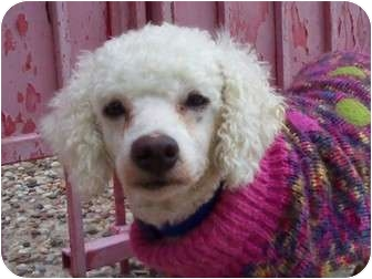 Bichon Frise Dog for adoption in Houston, Texas - PEPE