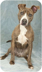 Pit Bull Terrier/Terrier (Unknown Type, Medium) Mix Dog for adoption in Chicago, Illinois - Nadia