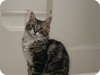 Domestic Longhair Kitten for adoption in Speonk, New York - Austin