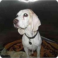 Adopt A Pet :: Bosley T. Beagle - Phoenix, AZ