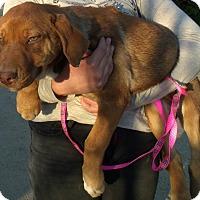 Adopt A Pet :: REMY - Corona, CA