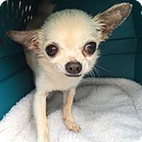 Adopt A Pet :: Schultz - Orlando, FL