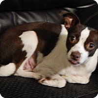 Rat Terrier/Pug Mix Dog for adoption in Burlington, Vermont - Coco(12 lb) New Pics & Video!