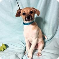 Adopt A Pet :: Baby Geronimo (RBF) - Harrisonburg, VA