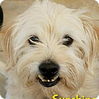 Terrier (Unknown Type, Medium) Mix Dog for adoption in Phoenix, Arizona - Sunshine (Sunny)