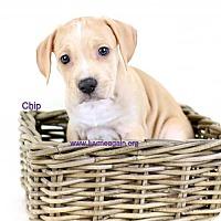 Adopt A Pet :: Chip - Bloomington, MN