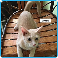 Domestic Shorthair Cat for adoption in Miami, Florida - Simba