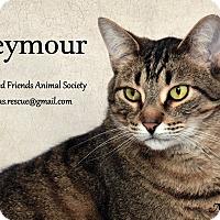 Domestic Shorthair Cat for adoption in Ortonville, Michigan - Seymour