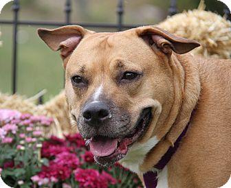 Boxer/Corgi Mix Dog for adoption in Marietta, Ohio - Daisy Duke (aka Dukey)-Spayed