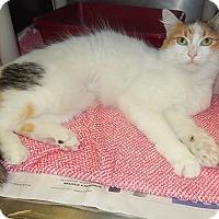 Domestic Longhair Cat for adoption in Newport, North Carolina - Gail (Petsmart in Morehead)