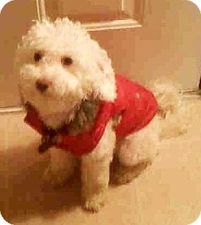 Bichon Frise/Poodle (Miniature) Mix Dog for adoption in E. Greenwhich, Rhode Island - Max